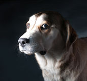 Brown hound on gray Royalty Free Stock Photo