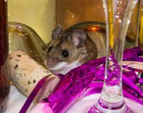 A party leftover, a wild brown house mouse sits amidst an array of party leftovers. A brown house mouse, Mus musculus, facing slightly left in front of a line Stock Image