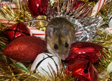 Frontal view of a wild brown house mouse, Mus musculus, sitting on and assortment of colorful Christmas decorations. A brown house mouse sitting face forward on Stock Photos