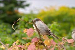 Brown house sparrow (Passer domesticus). On an autumn tree, botanical garden, Gothenburg, Sweden Stock Photos