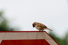 Brown House Sparrow Royalty Free Stock Photo