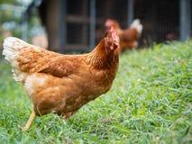 Brown-Huhn, das auf den Grasboden geht Landwirtschaft u. Haustier-Konzept stockfotografie