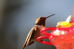 Brown hummingbird obsiadanie Fotografia Stock