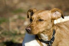 Brown-Hund Lizenzfreies Stockbild