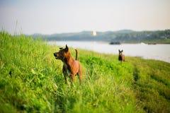 Brown-Hund auf dem Hügel im Freien Lizenzfreie Stockbilder