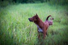 Brown-Hund auf dem Hügel im Freien Lizenzfreies Stockbild