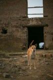 Brown-Hund auf dem Hügel im Freien Lizenzfreie Stockfotografie