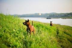 Brown-Hund auf dem Hügel im Freien Lizenzfreies Stockfoto