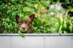 Brown-Hund auf der Wand lizenzfreies stockfoto