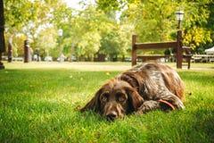 Brown-Hund, der allein auf GraswarteEigentümer, Gewehrhund jagend liegt Lizenzfreies Stockfoto