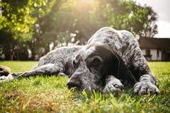 Brown-Hund, der allein auf GraswarteEigentümer, Gewehrhund jagend liegt Lizenzfreie Stockfotos