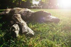 Brown-Hund, der allein auf GraswarteEigentümer, Gewehrhund jagend liegt Stockbild