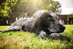 Brown-Hund, der allein auf GraswarteEigentümer, Gewehrhund jagend liegt Lizenzfreie Stockfotografie