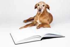 Brown-Hund, der durch ein offenes Buch liegt Stockbilder