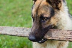 Brown-Hund, der hölzernen Stock hält stockfotos