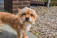 Brown-Hund, der Kamera betrachtet Stockfotografie