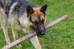Brown-Hund, der mit hölzernem Stock spielt lizenzfreies stockfoto