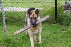 Brown-Hund, der mit hölzernem Stock spielt stockfotografie
