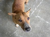 Brown-Hund, der oben Eigentümer mit plädierenden Augen betrachtet Stockbilder