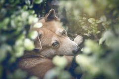 Brown-Hund geheim im grünen Busch und im Blick heraus die Weise mit suspi Stockfotos
