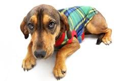 Brown-Hund mit buntem Jersey Lizenzfreie Stockfotos