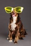 Brown-Hund mit lustigem Glas-Studio-Porträt Stockbild