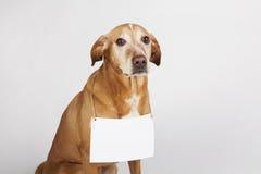 Brown-Hund mit weißer Tabelle für Text Lizenzfreie Stockfotografie
