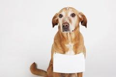 Brown-Hund mit weißer Tabelle für Text Stockfoto