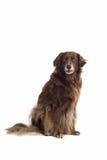 Brown-Hund/Setzer Lizenzfreie Stockfotografie