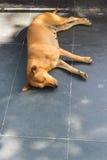 Brown-Hund-sleeo auf dem Treppenhaus Lizenzfreies Stockbild