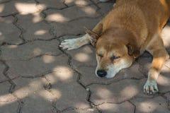 Brown-Hund-sleeo auf dem Treppenhaus Stockfoto