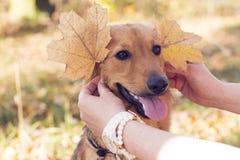 Brown-Hunde- und -herbstohren von den Blättern stockbild