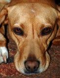 Brown-Hundeportrait Lizenzfreie Stockfotografie