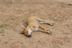 Brown-Hundeschlaf auf dem Sand Stockfotos
