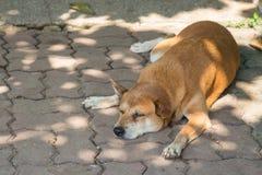 Brown-Hundeschlaf auf dem Treppenhaus Stockbilder