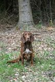 Brown Hunting Dog Stock Photography