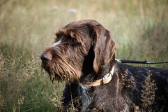 Brown hunting dog in field Royalty Free Stock Photos