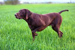 The brown hunting dog freezed in the pose. The brown hunting dog freezed in the pose smelling the wildfowl in the green grass. German Shorthaired Pointer Royalty Free Stock Images