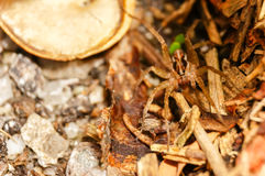 Brown huntsman spider on the ground Royalty Free Stock Photography
