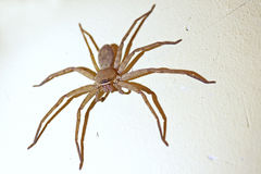 Brown Huntsman Spider Royalty Free Stock Photos