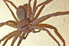Brown Huntsman Spider Royalty Free Stock Photo