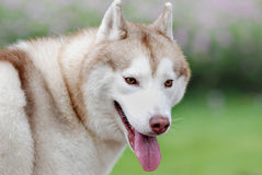 Brown huskies Stock Photo