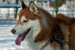 Brown husky Stock Photography