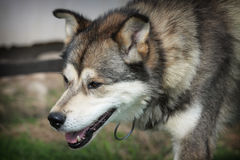 Brown husky Stock Images
