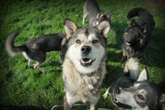 Brown husky and other dogs. Portrait of brown husky dog in a group of other dogs Royalty Free Stock Photo