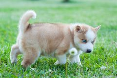 Brown husky puppy walking through the grass stock photos