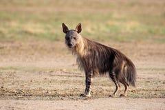 Brown-Hyäne Stockfoto