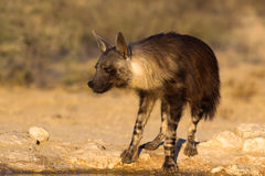 Brown-Hyäne am waterhole Stockbilder