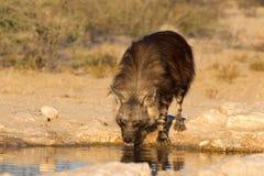 Brown-Hyäne am waterhole Stockfotos