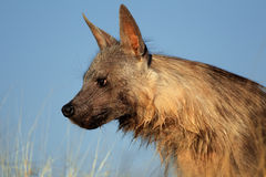 Brown-Hyänenporträt Stockbild